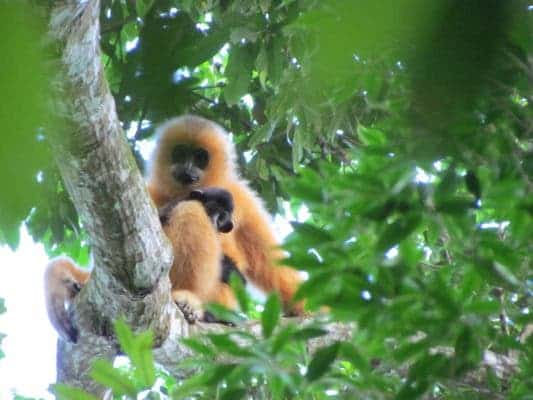 Hainan gibbon female with infant. Credit: Jessica Bryant ZSL.