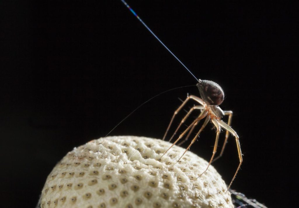 A spider using its spinnerets to balloon off into the air. Credit: Michael Hutchinson.