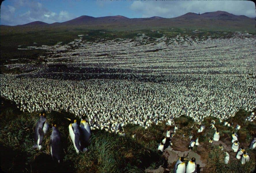 Île aux Cochons king penguin colony in 1982. Credit: Henry Weimerskirch