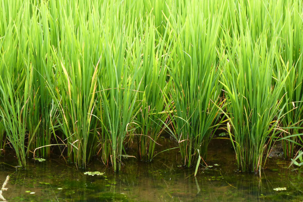 Rice paddy.