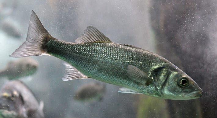 The European sea bass (Dicentrarchus labrax). Credit: Citron, Wikimedia Commons.
