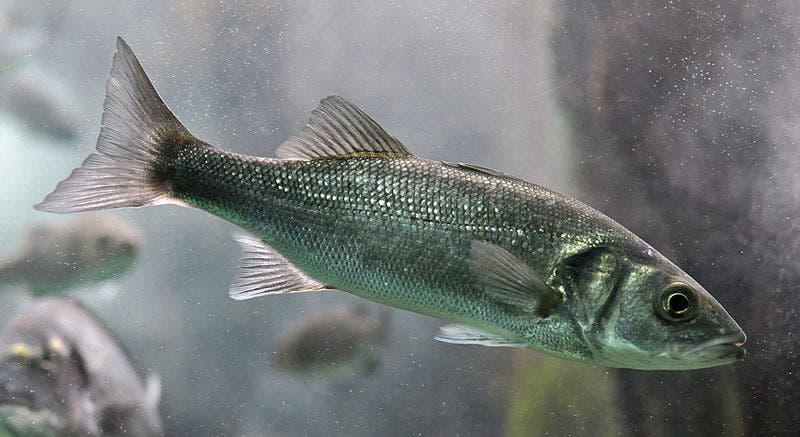 The European sea bass (Dicentrarchus labrax). Credit: Citron, Wikimedia Commons.