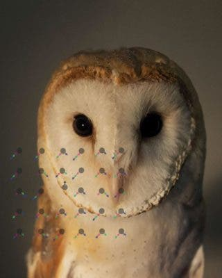 Barn owls (Tyto alba) took part in an experiment which tested their behavioral and neural responses to moving objects. Credit: Yoram Gutfreund.