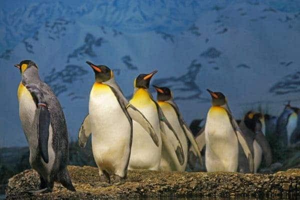King penguins. Credit: Pixabay.