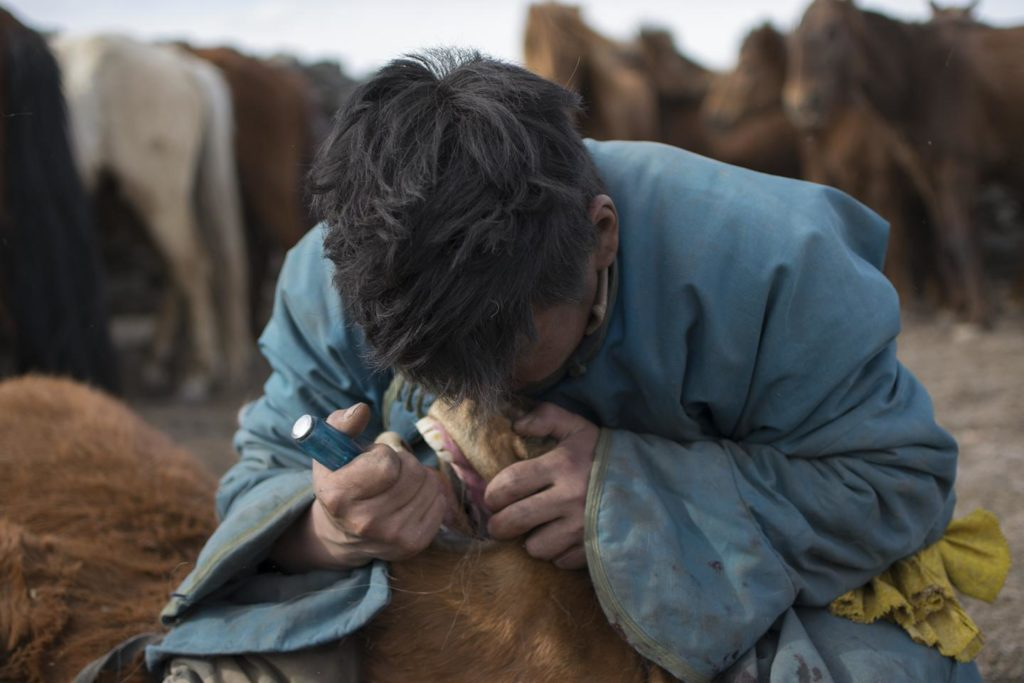 Mongolian herder removing first premolar, or 'wolf tooth', from a young horse during the spring roundup using a screwdriver. Credit: Dimitri Staszewski. Taylor et al. 2018. Origins of Equine Dentistry. PNAS.