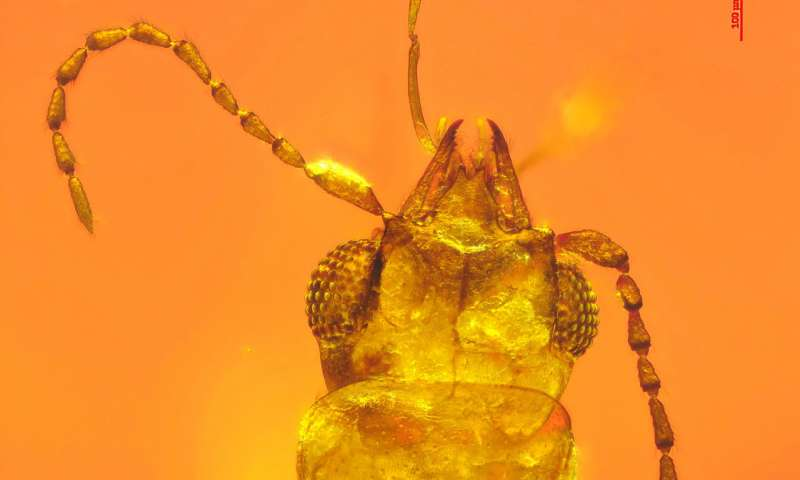 This beetle had a head full of pollen for 99 million years