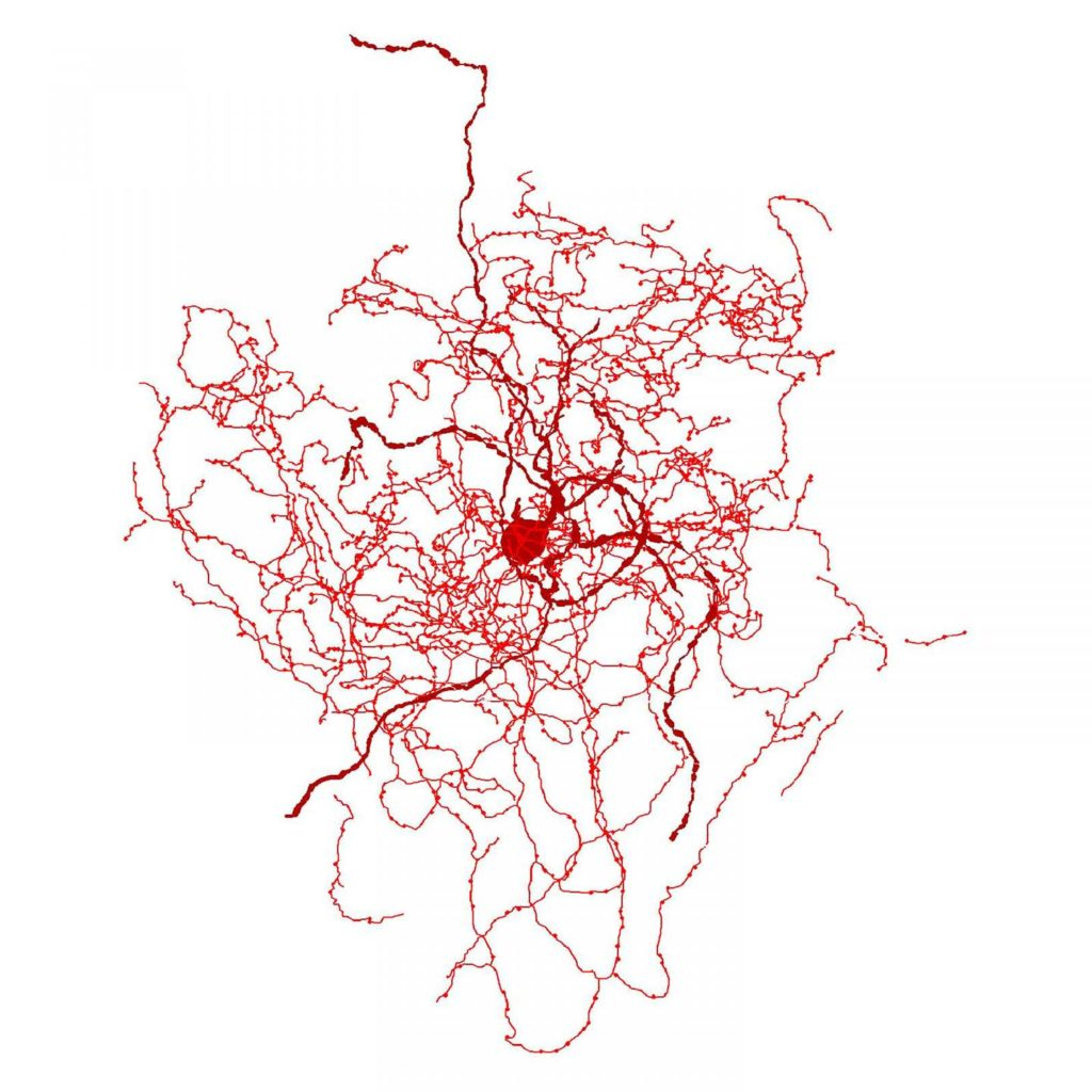 Digital reconstruction of a rosehip neuron in the human brain. Credit: Tamas Lab, University of Szeged.