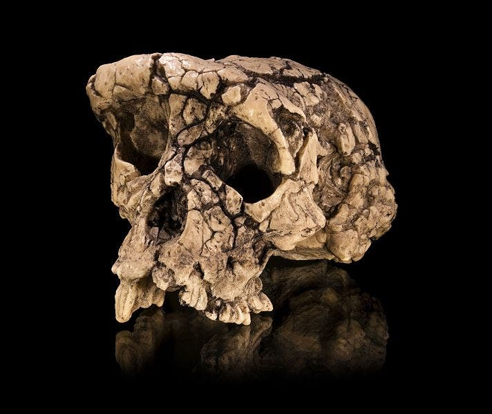 Cast of a Sahelanthropus tchadensis skull (Toumaï). Credit: Wikimedia Commons.