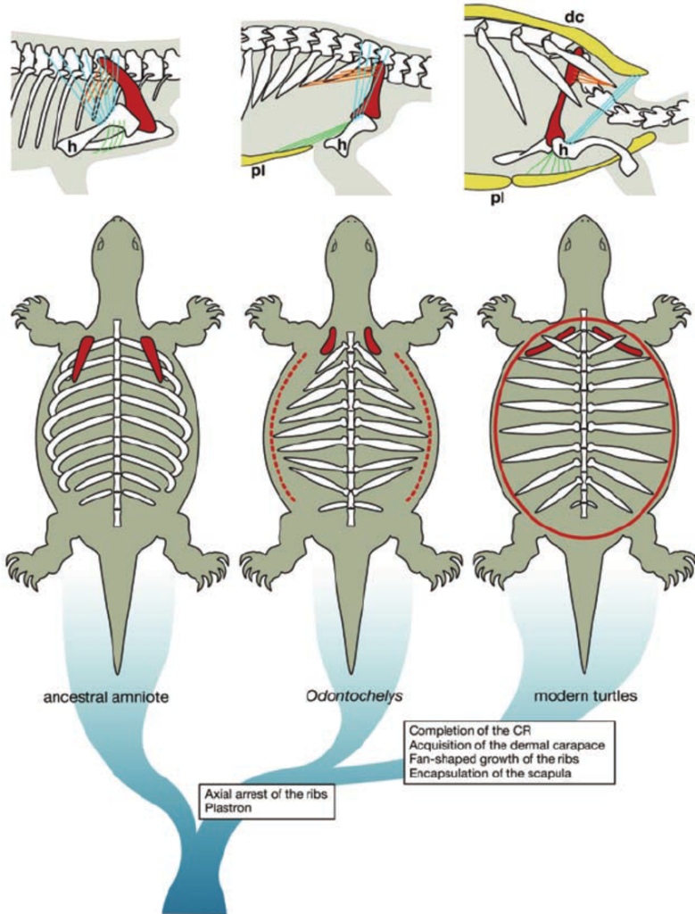 Evolution of the turtle body plan. Credit: Research Gate.