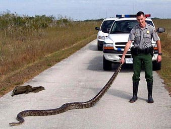 A Burmese python found along the Shark Valley Road in Everglades National Park. Credit: National Park Service.