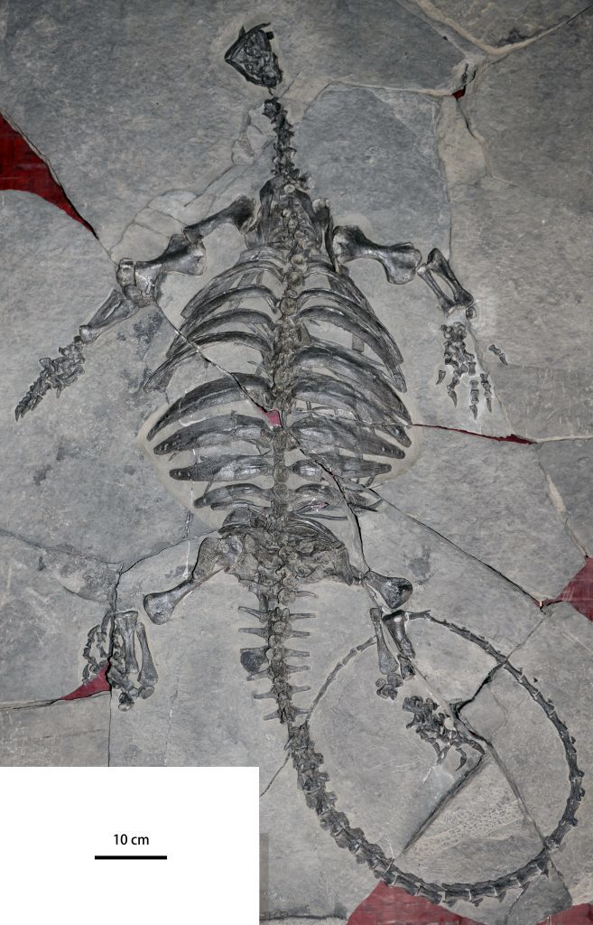 Complete articulated skeleton of Eorhynchochelys sinensis, unearthed from Upper Triassic rock (about 228 years ago) in Guizhou province, China. Credit: Xiao-Chun Wu