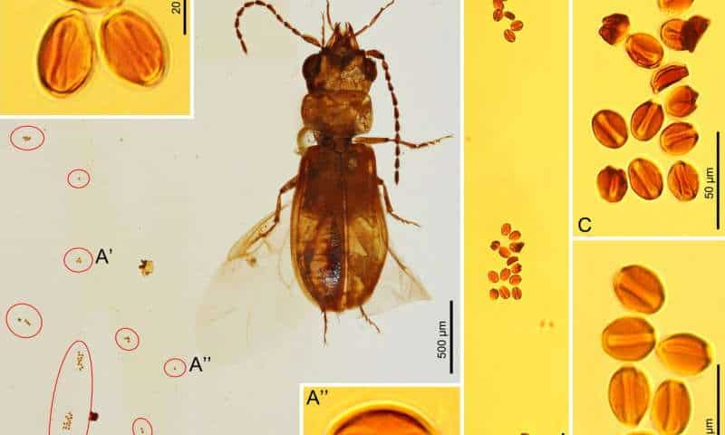 Beetle in 99-million-year-old amber found with ancient cycad pollen