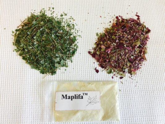 Extracts from summer or fall red maple leaves are formulated into a powder that could be incorporated in skincare products to prevent wrinkles. Credit: Hang Ma.