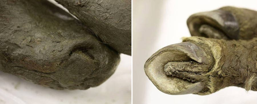 Left: nose of the horse, Right: hooves of the horse. Credit: Michil Yakoklev/North-Eastern Federal University.