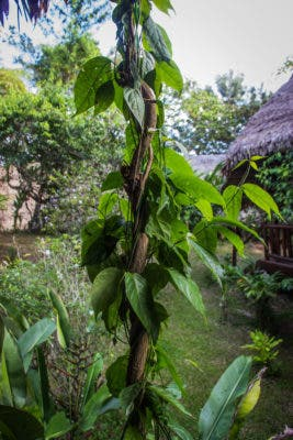 Ayahuasca vine. Credit: Wikimedia Commons.