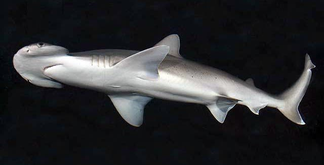 The bonnethead shark. Credit: Wikimedia Commons.