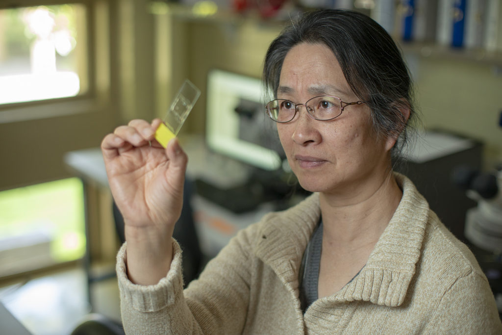 Professor Li Liu examining ancient starch grains. Credit: L.A. Cicero.