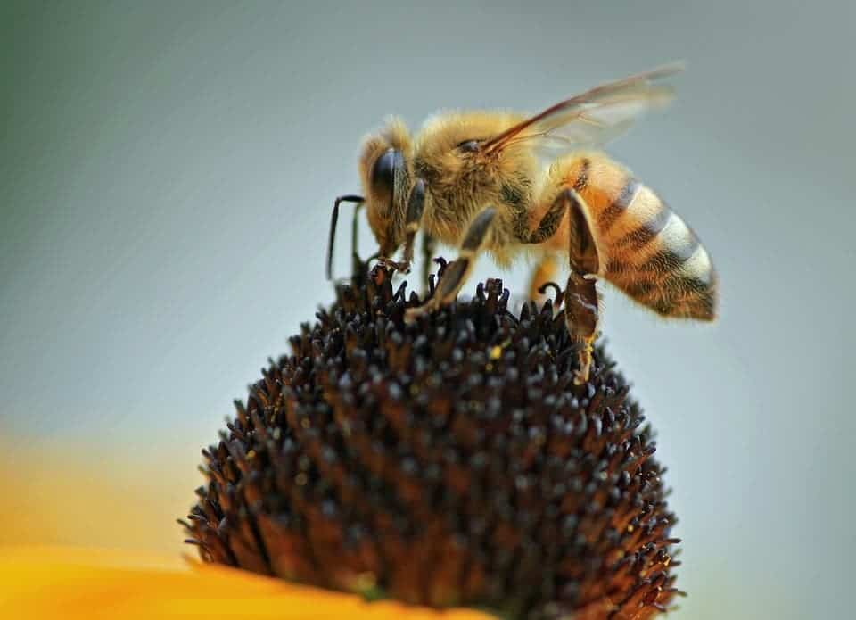 Honeybee.