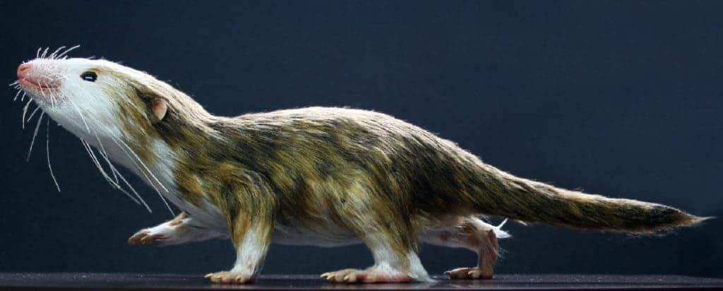 Mammaliaform Morgauncodon