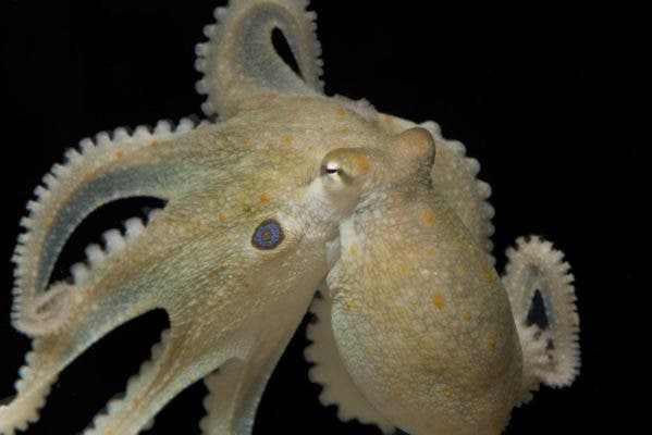 California two-spot octopus (O. bimaculoides). Credit: Thomas Kleindinst.