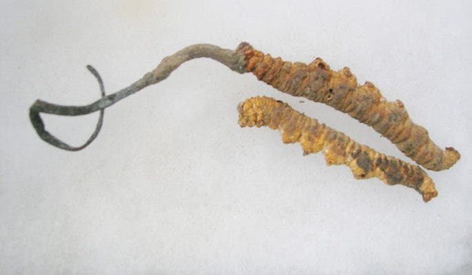 Cordyceps sinensis on caterpillars from collection of Womens collective, Munsiyari. Credit: Wikimedia Commons.