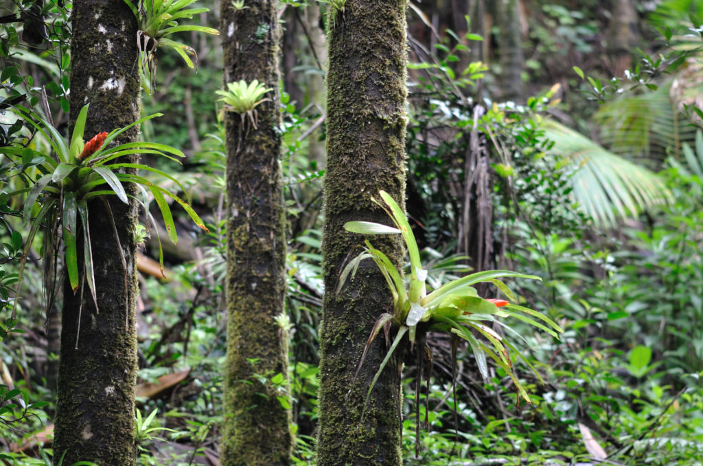 Bromeliads on tree trunks in the Luquillo rainforest, Puero Rico. Credit: Wikimedia Commons.