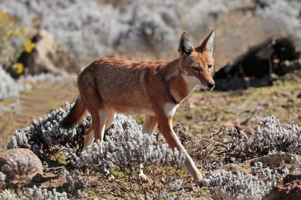 The Ethiopian Wolf -- also known as 'ky kebero', which means red jackal -- is one of the rarest and most endangered of all canids. Credit: Wikimedia Commons.