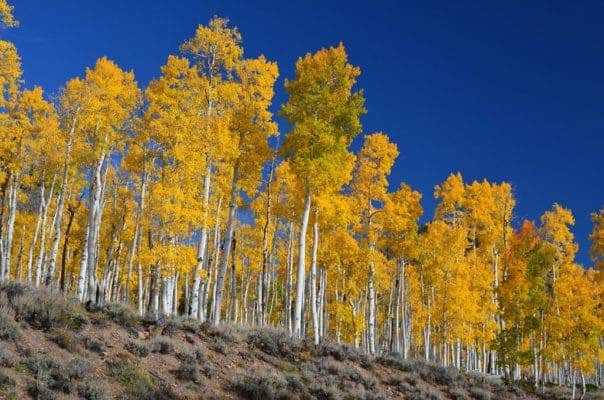 Pando is the heaviest organism in the world – and it's also one of the oldest. Credit: Wiki Commons.