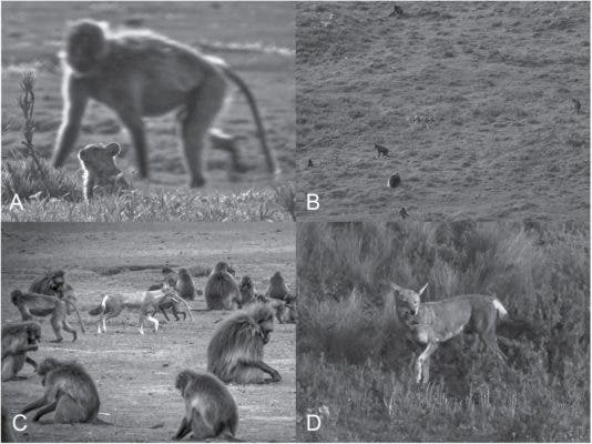 A) An Afroalpine rodent among geladas (Theropithecus gelada); B and C) Ethiopian wolves (Canis simensis) foraging for rodents among geladas; and D) an Ethiopian wolf successfully captures a rodent while among geladas. Credit: Journal of Mammalogy.