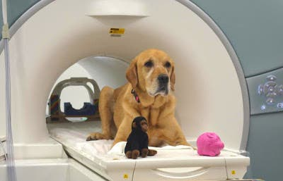 "Eddie, one of the dogs whose brain activity was scanned with a fMRI scanned. Next to the dog are the toys used in the experiment, ""Monkey"" and ""Piggy"". Credit: Gregory Berns."