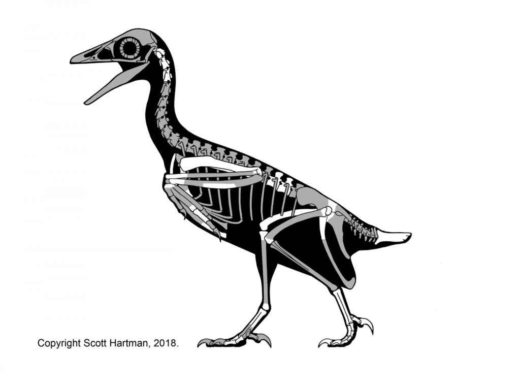Skeletal reconstruction of Mirarce eatoni. Credit: Scott Hartman.
