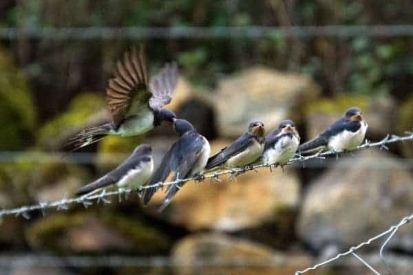 Barn swallows wire.