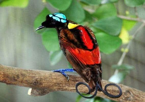Wilson's Bird of Paradise.