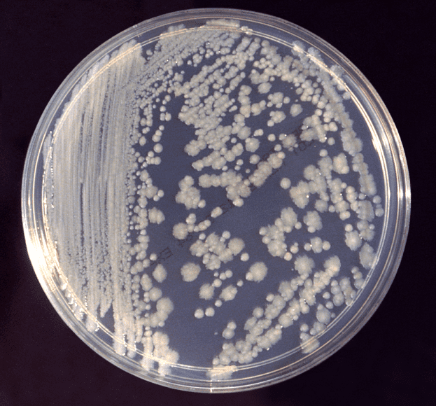Enterobacter cloacae.