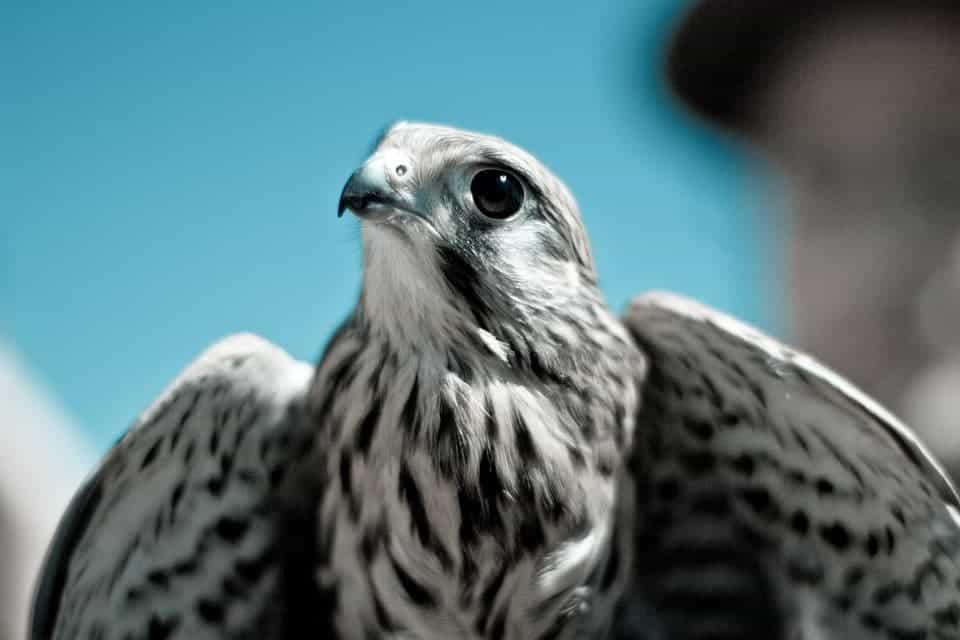 Hawk.