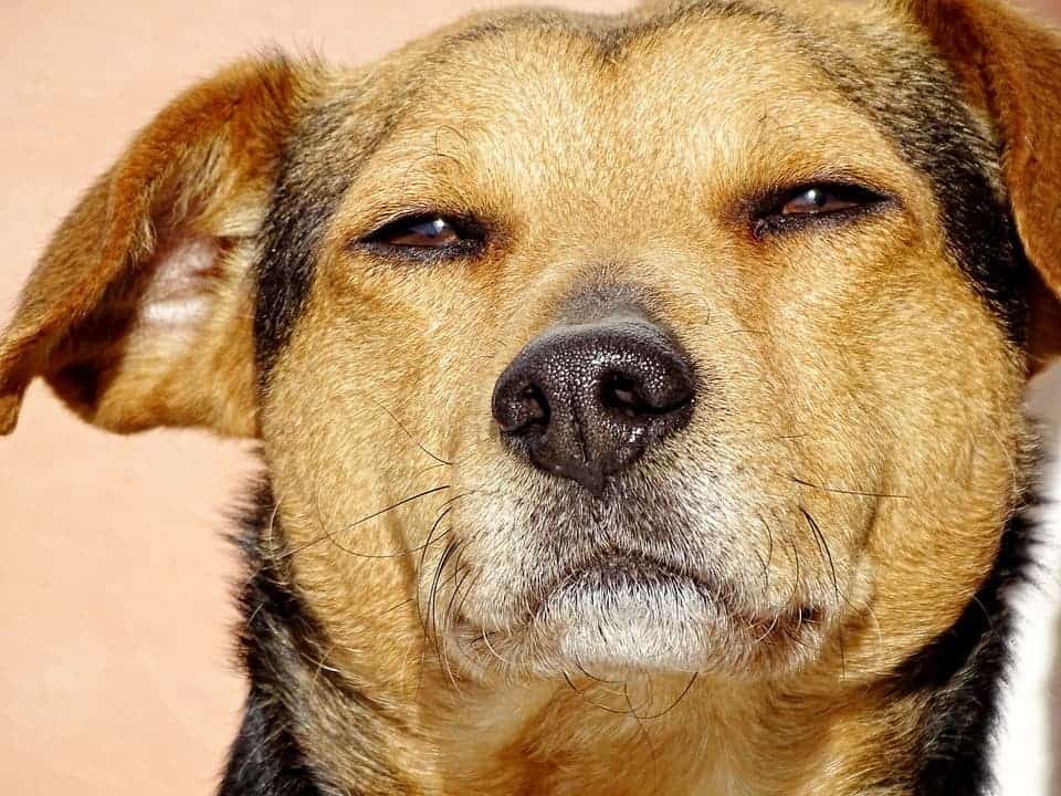 Dog bad mood.