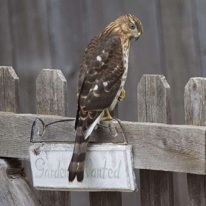 Cooper's Hawk.
