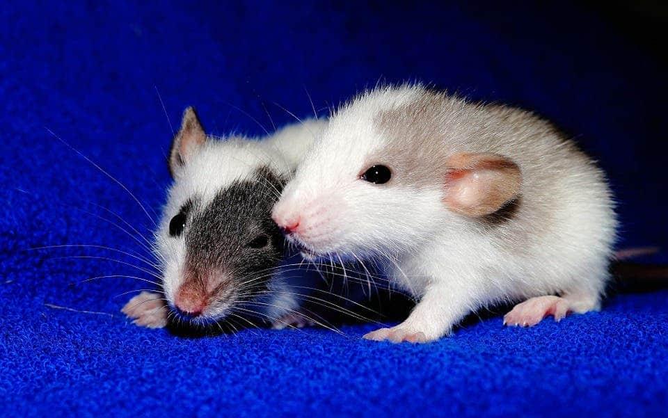Rat pups.