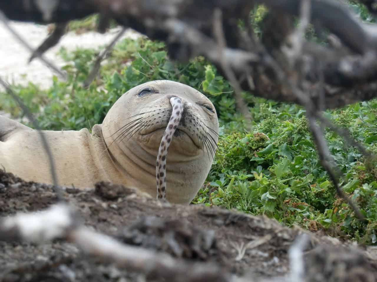 Endangered monk seal spotted with eel stuck up its nose