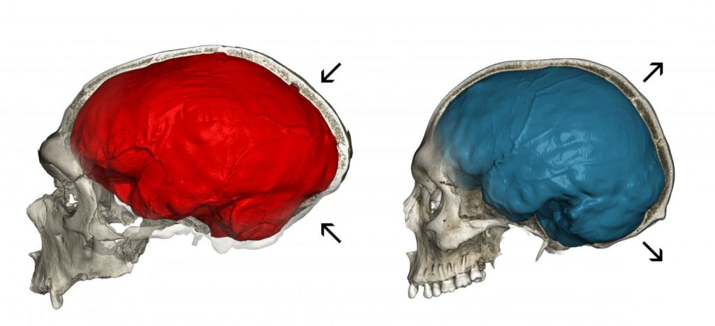 This image shows a CT scan of the Neandertal fossil (left) with a typical elongated endocranial imprint (red) and a CT scan of a modern human (right) showing the characteristic globular endocranial shape (blue). Credit: Philipp Gunz.