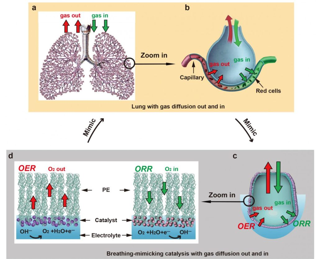 Gas exchange in mammalian lungs and the new Stanford system that turns water into fuel. Credit: Li et al. / Joule.