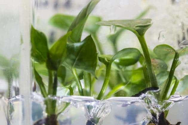 A common houseplant—pothos ivy— was genetically modified to remove chloroform and benzene from the air around it. Credit: Mark Stone/University of Washington.