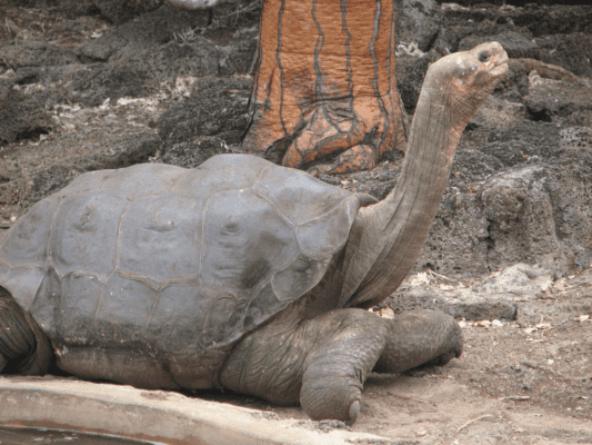The last (known) Pinta tortoise, Lonesome George. Credit: Mike Weston.
