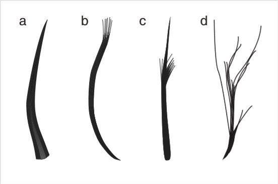 The four feather types: filaments, filament bunches, tufted filament, down feather. Credit: Zixiao Yang.
