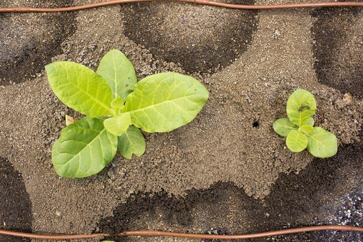 Modified tobacco (left) vs unmodified plant (right). Credit: RIPE.