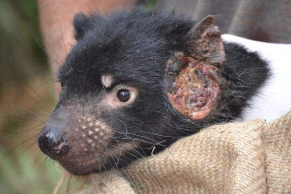A tumor from the transmissible cancer afflicting Tasmanian devils. Image credits: Maximilian Stammnitz.