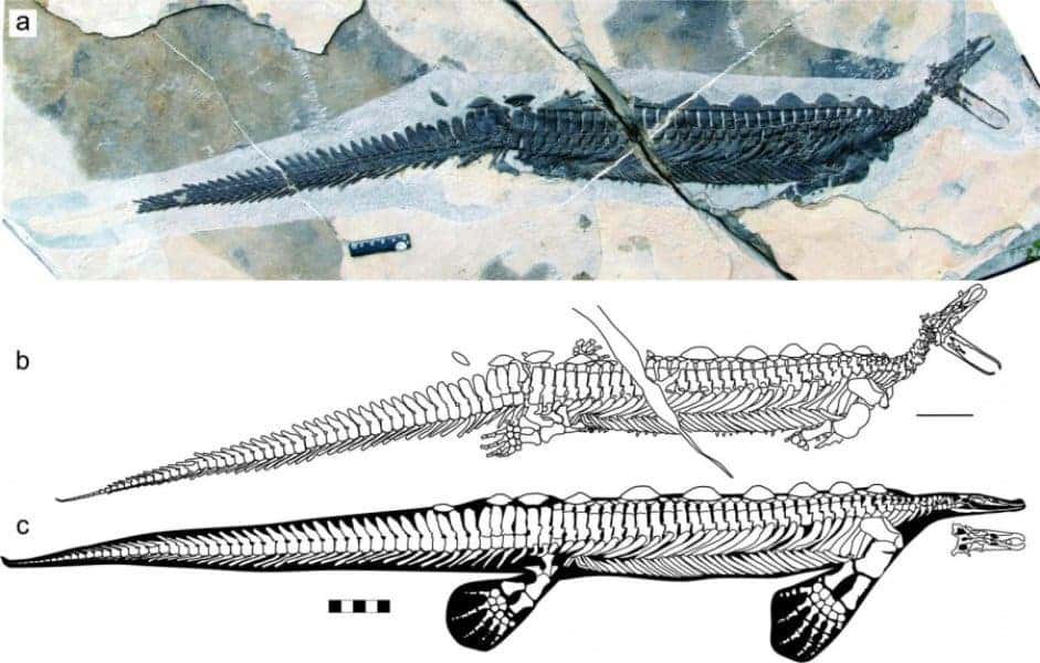 Complete fossil and line drawing of Eretmorhipis carrolldongi. L. Cheng et al, Scientific Reports.