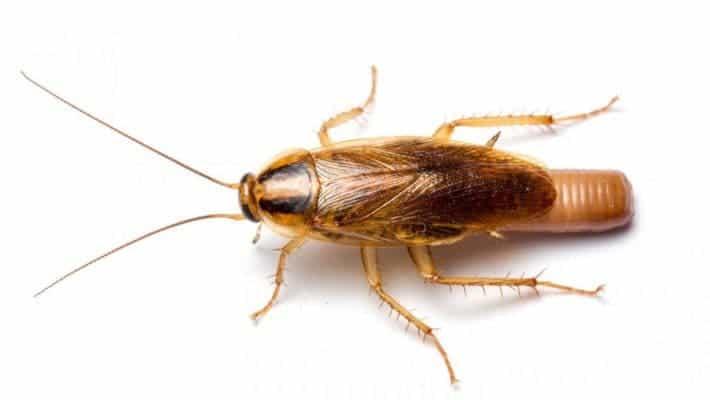 German cockroach.