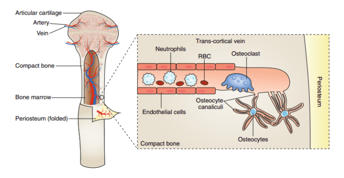 Trans-cortical vein canals move bone marrow cells and potentially facilitate the exchange of nutrients between the bone and the general circulation system. Credit: Nature.