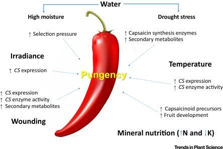 . The expression of the gene (CS) encoding capsaicinoid synthase is directly affected by irradiance, temperature, and wounding. Higher temperatures and wounding also increase this enzyme activity. Credit: Trends in Plant Science.